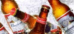 Budweiser beer